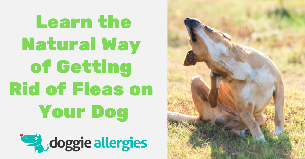 The Natural Way of Getting Rid of Fleas on Your Dog and in Your Home